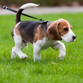 beagle_on_leash_l